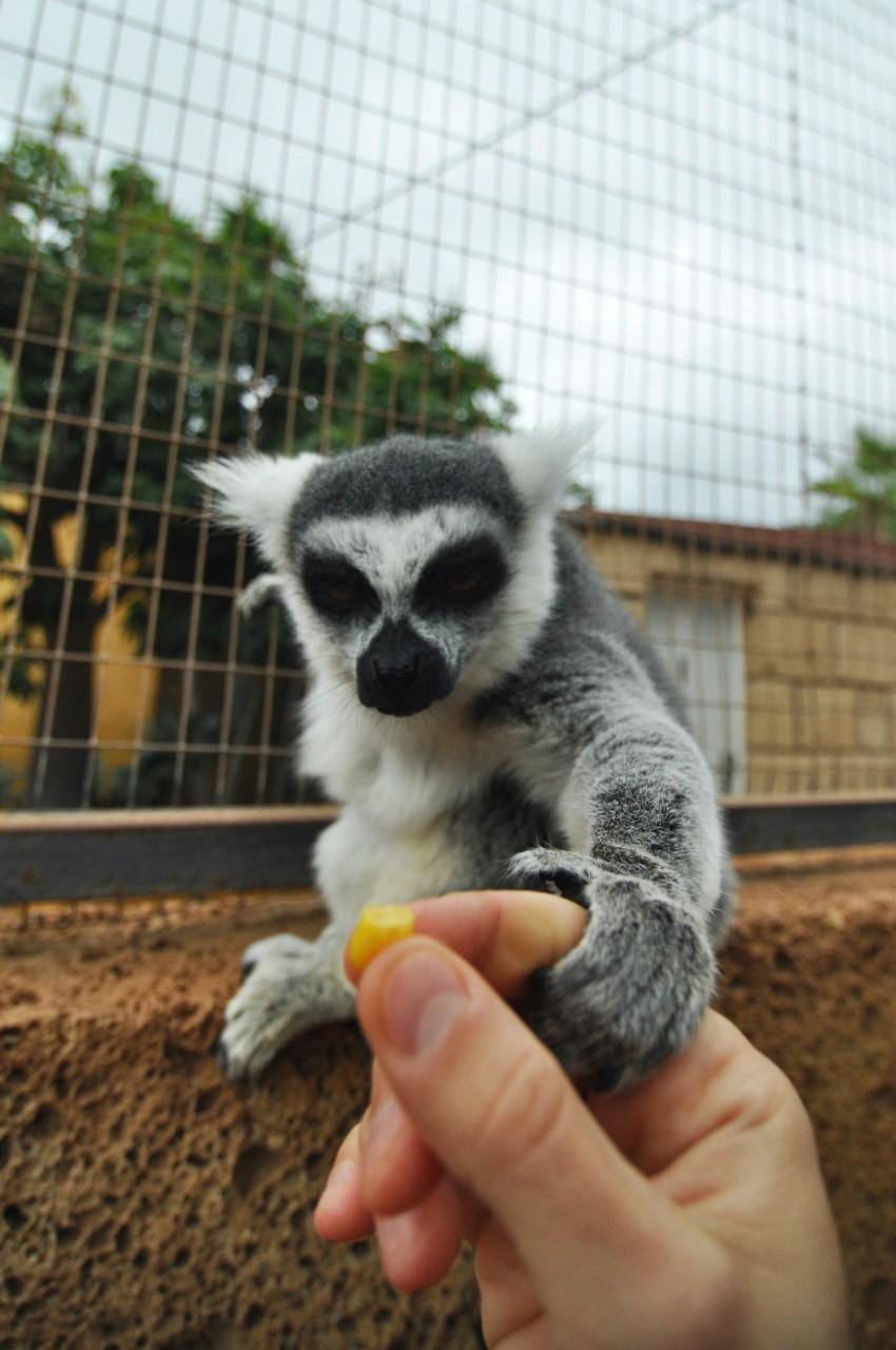 Fauna_lemure